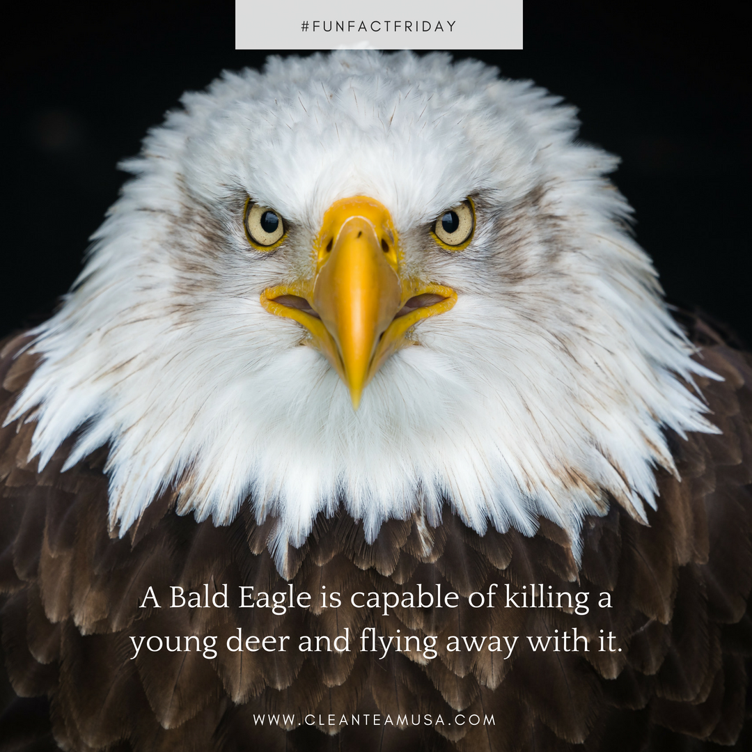 Happy FriYAY! Did you know that a bald eagle is not only