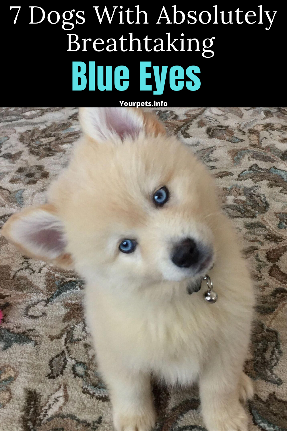 7 Dogs With Absolutely Breathtaking Blue Eyes In 2020 Dogs Animal Lover Cute Cat Breeds