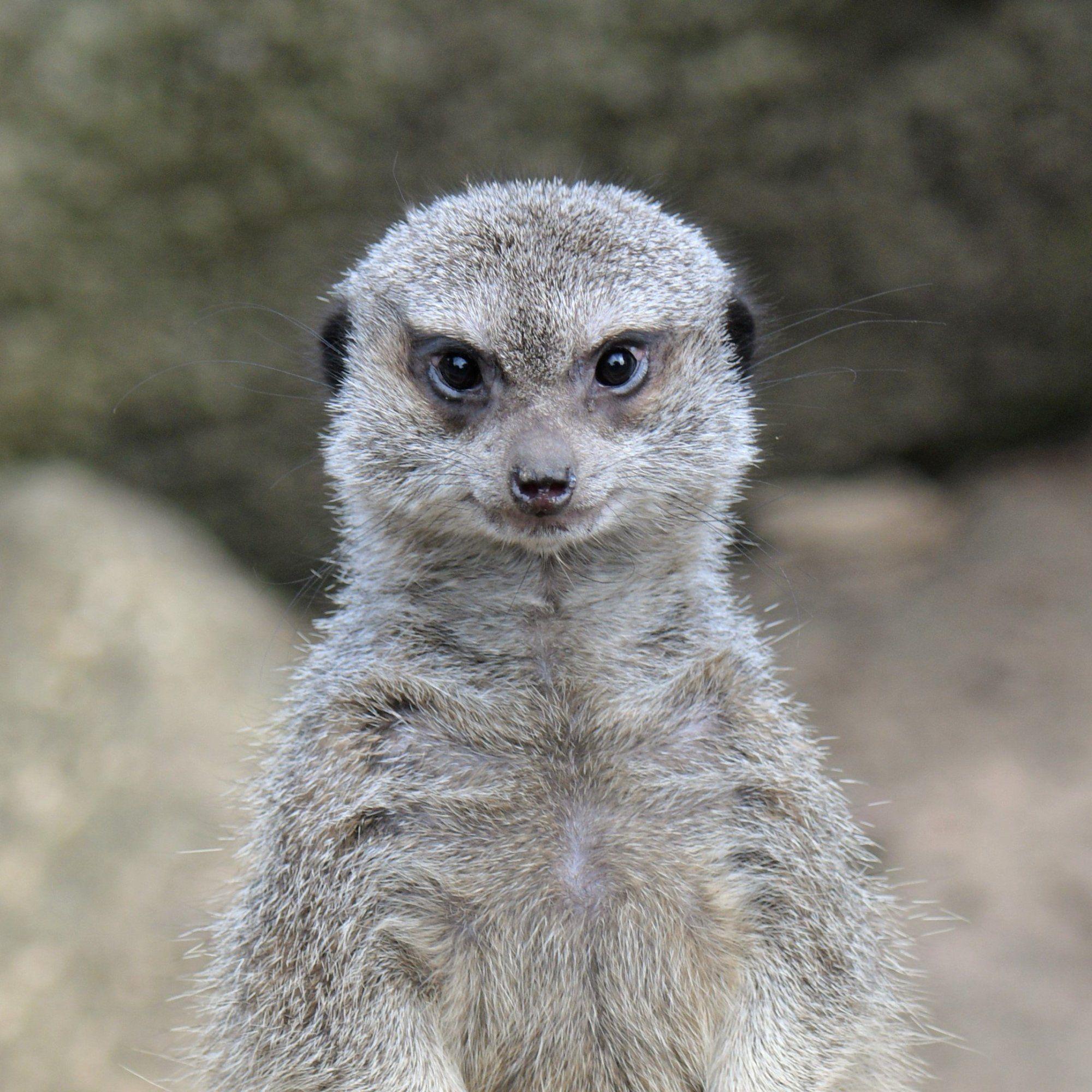 表情キリッ 井の頭自然文化園のミーアキャットがやけにイケメン Netgeek ミーアキャット 文化 表情