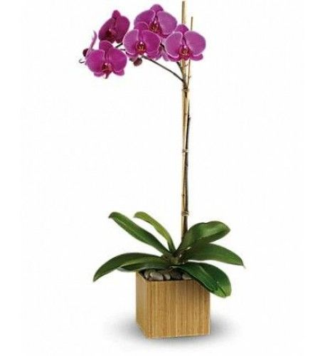 Imperial Purple Orchid Orchid Plants Purple Orchids Flower Delivery