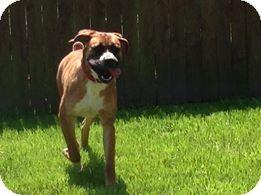 Hampton, VA Boxer Mix. Meet Digby a Dog for Adoption