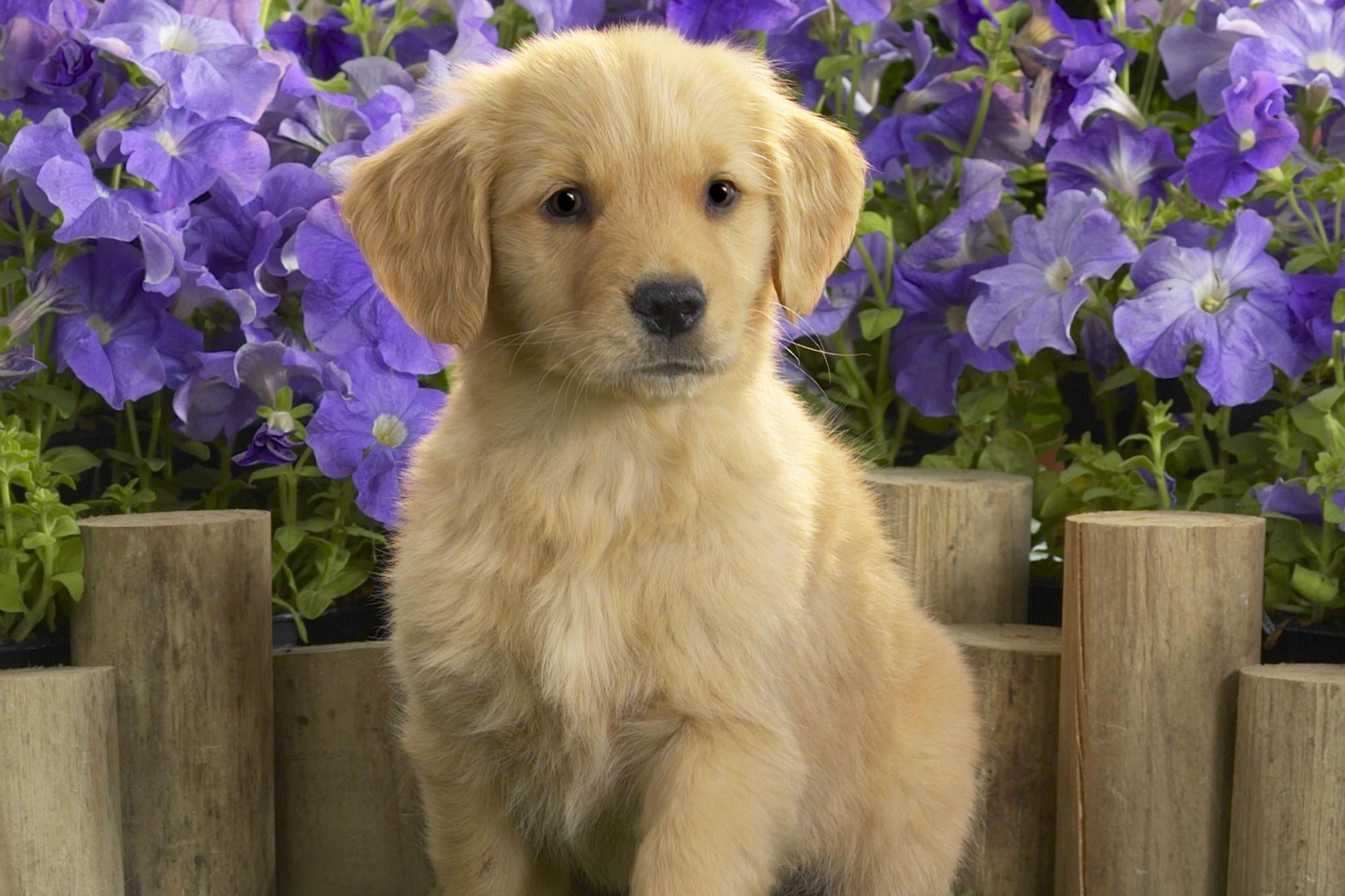 Adorable Puppies Golden Retriever Dogs Golden Retriever