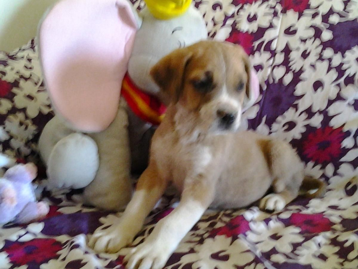 Mastiff Chihuahua Mix Great Dane Saint Bernard Mix Great Dane St Bernard Mix Shepherd Mix Puppies Puppies Mastiffs