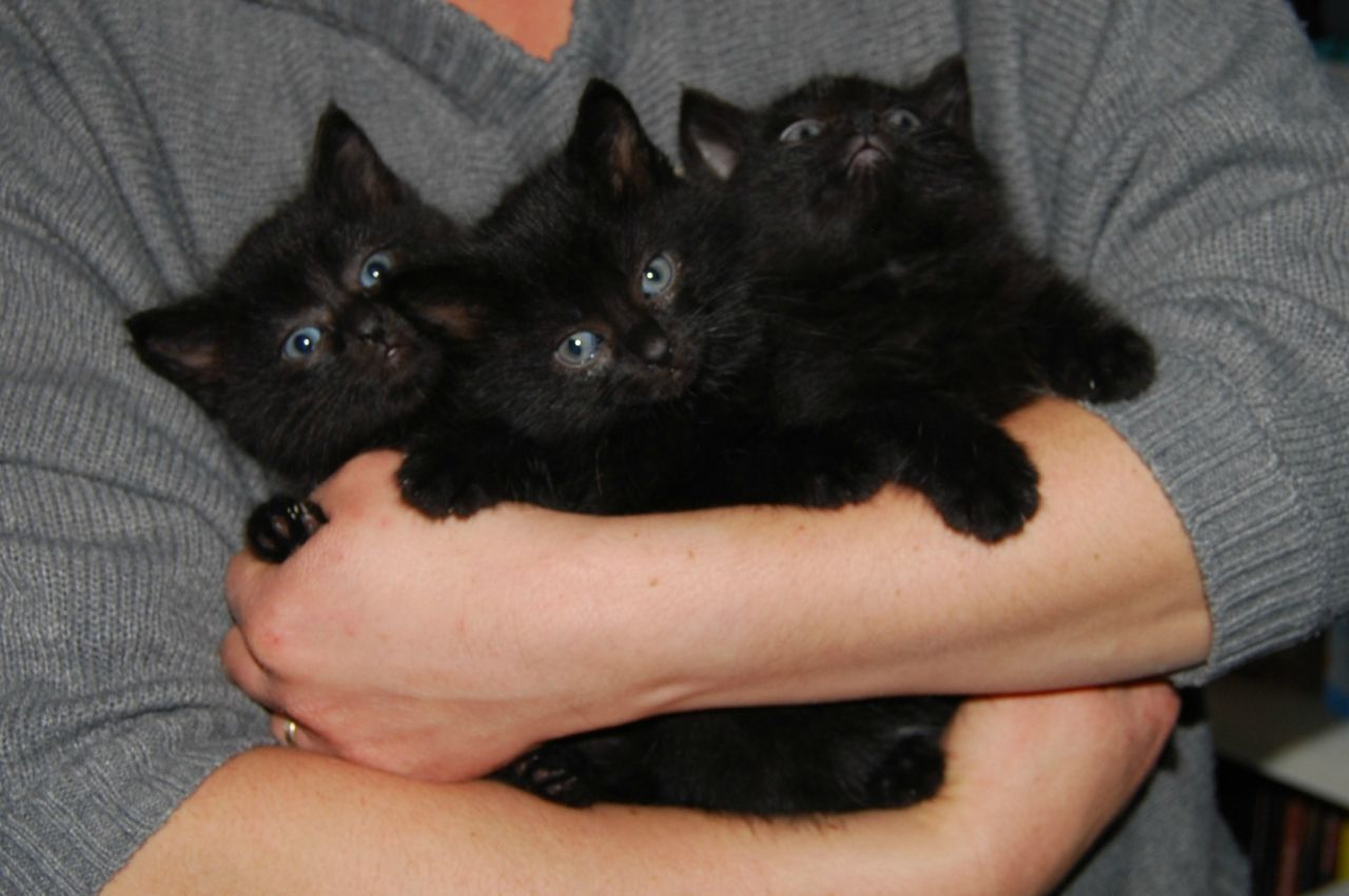 Three Beautiful Black Kittens For Sale Honiton Devon Pets4homes Black Kittens For Sale Black Kitten Kitten For Sale