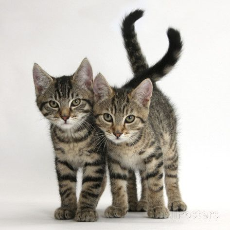 Tabby Kittens Stanley And Fosset 12 Weeks Old Walking Together