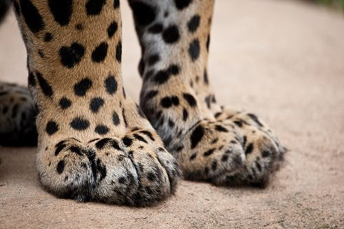 Big cats' paws always look so soft and  - pudgy - but in effect they are the most deadly tool in the predators' weapons. remember that big cats mostly chase their prey to one extent or other, and take them down with their claws long befor the teeth get involved.