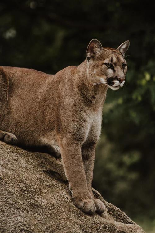Animals 100 Best Free Animal Wildlife Wallpaper And Mammal Photos On Unsplash In 2020 Mountain Lion Animal Wallpaper Animal Photo