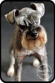 Standard Schnauzer Dog For Adoption In Minneapolis Minnesota Clyde Schnauzer Dog Adoption Kitten Adoption Pets