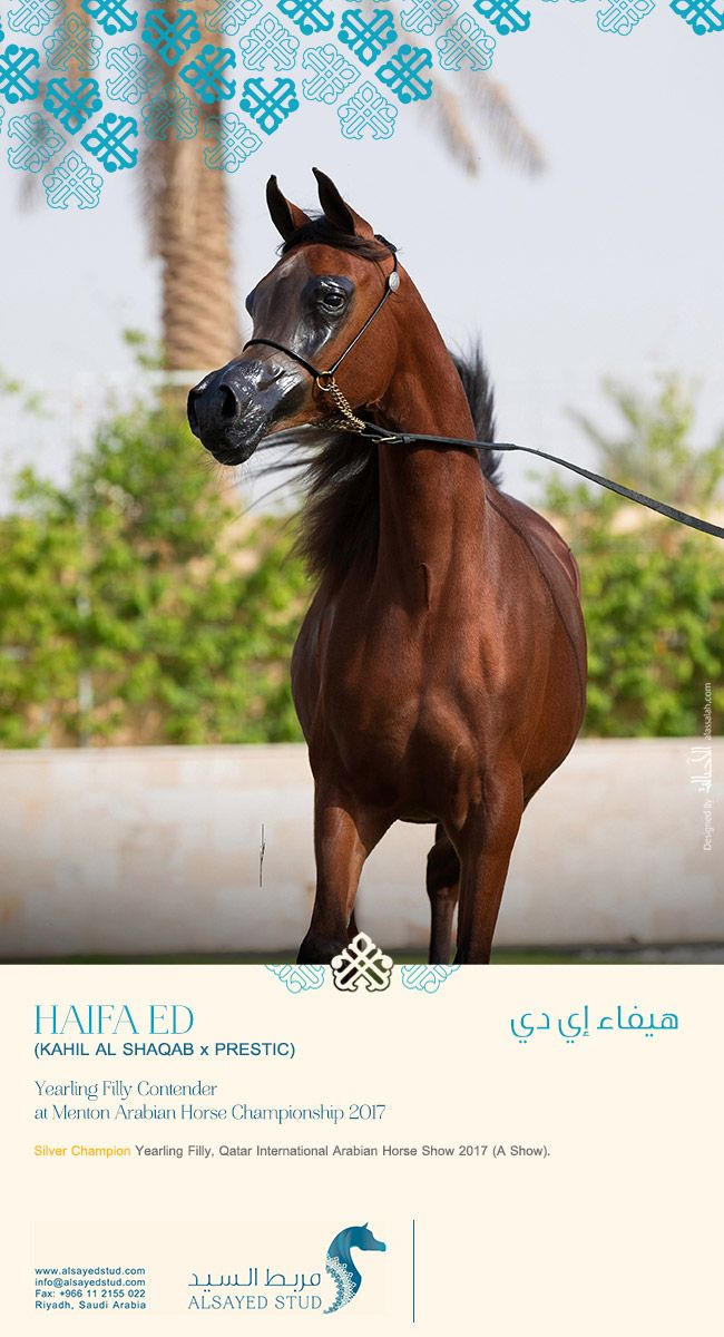 Haifa Ed 2017 Menton Contender Arabische Pferde Pferde