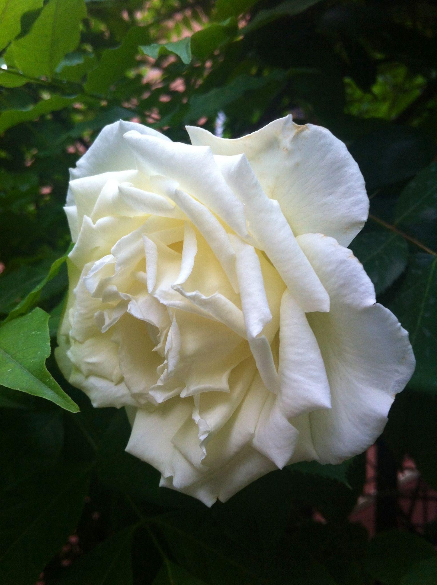 Rose of May,  Modena 16 Maggio 2013