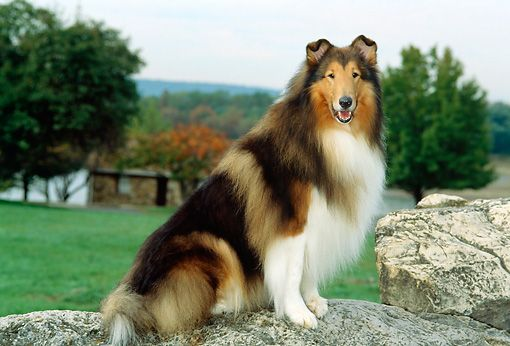 Dog 01 Ce0056 01 Rough Collie Sitting On Rock By Grass Trees Sky