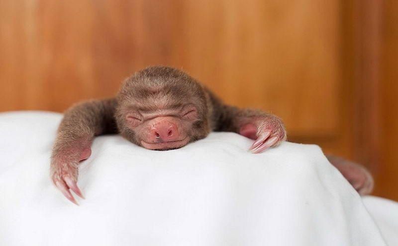 Adorables perezosos bebé