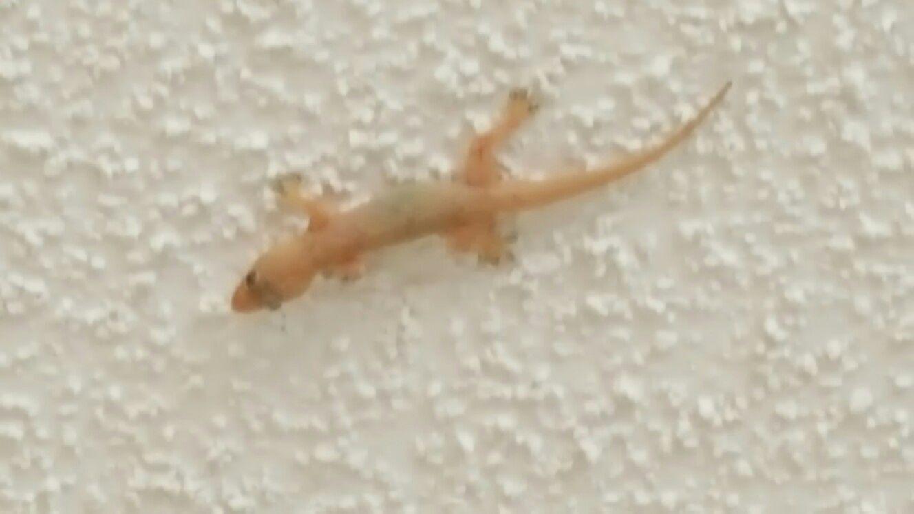 House Gecko Weston Fl Weston Gecko