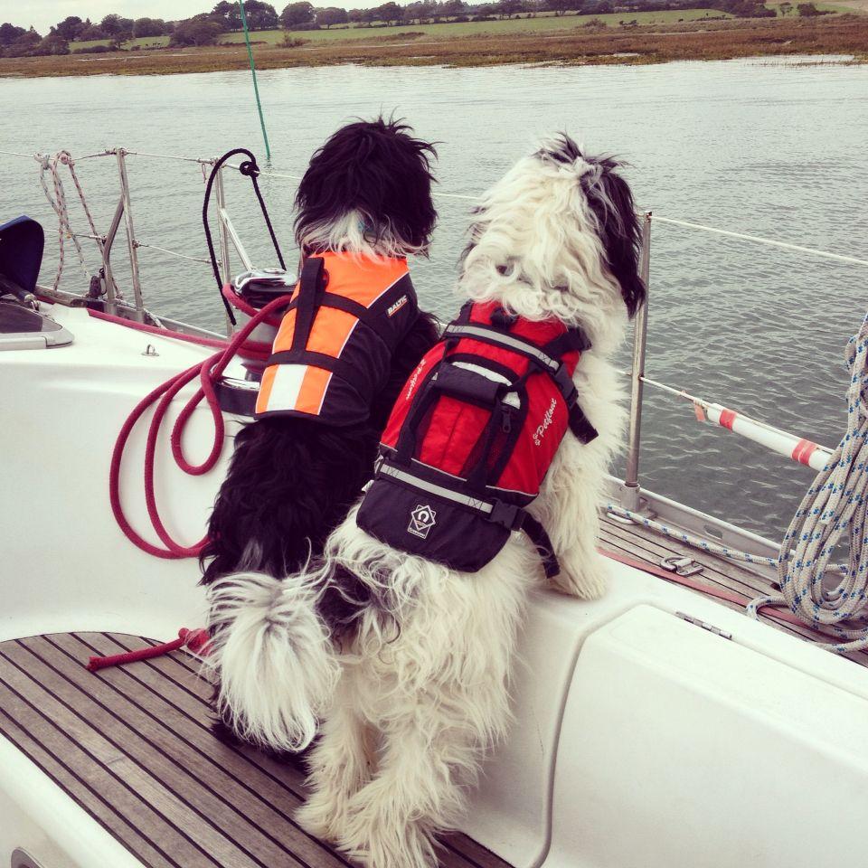 Sailing Tibetan terrier pups Bobby and Charlie