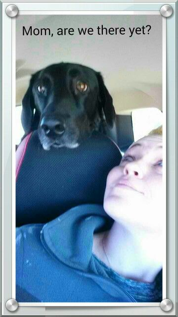 Lab love. Are we there yet. Funny dog.