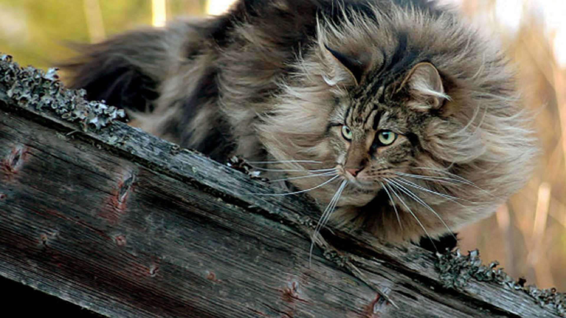 The Norwegian Forest Cat Is A Large Muscular Cat Adapted To A
