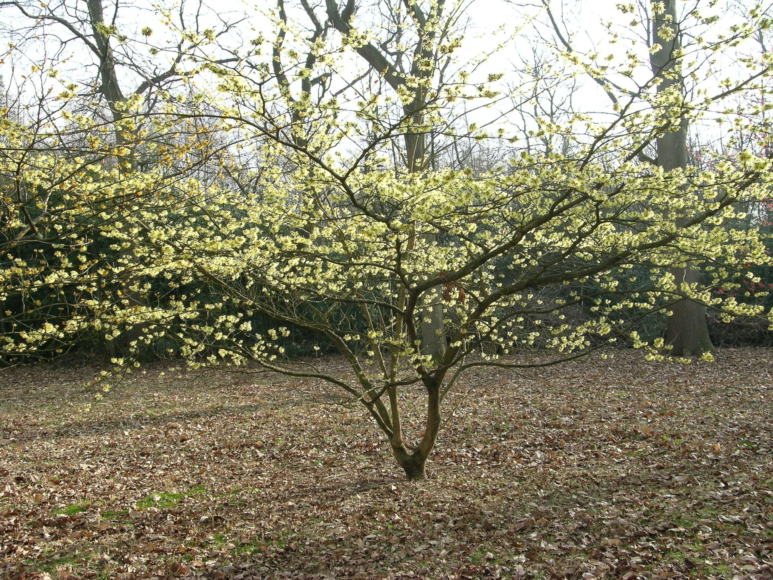 the scented witch hazel is a brilliant shrub for the winter garden
