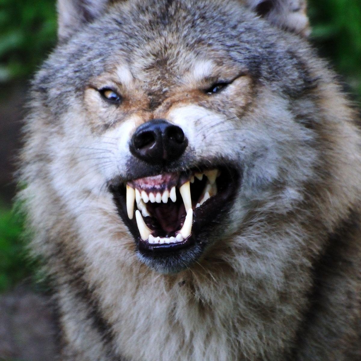 Wolfe Wolves Wolf Zahne Gebiss Wolf Boser Wolf Tierpark
