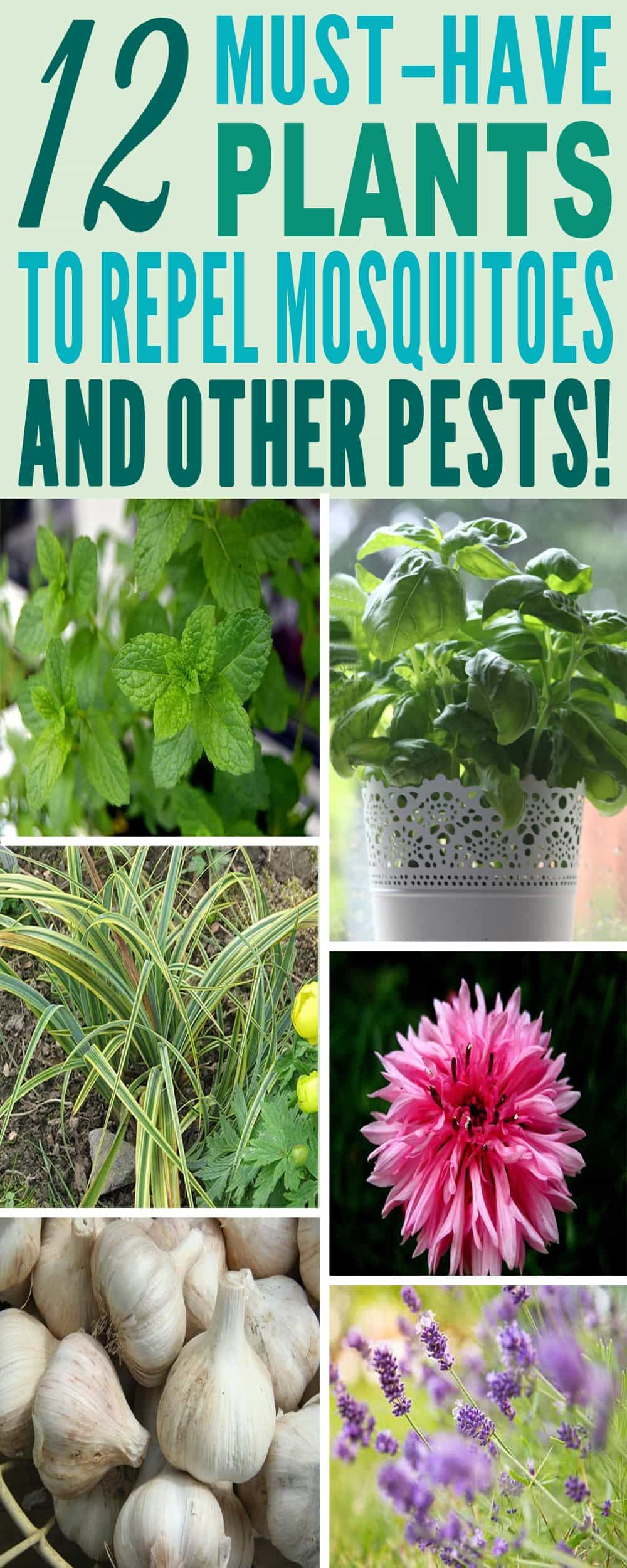 12 Amazing Plants For Your Home That Repel Mosquitoes And Other