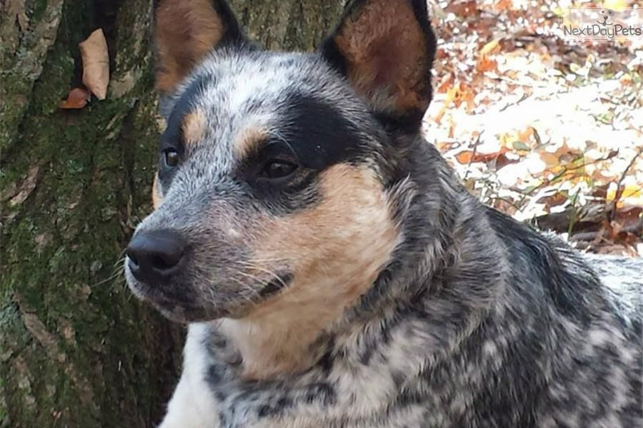 You Ll Love This Female Australian Cattle Dog Blue Heeler Puppy Looking For A New Home Blue Heeler Puppies Australian Cattle Dog Blue Heeler Heeler Puppies