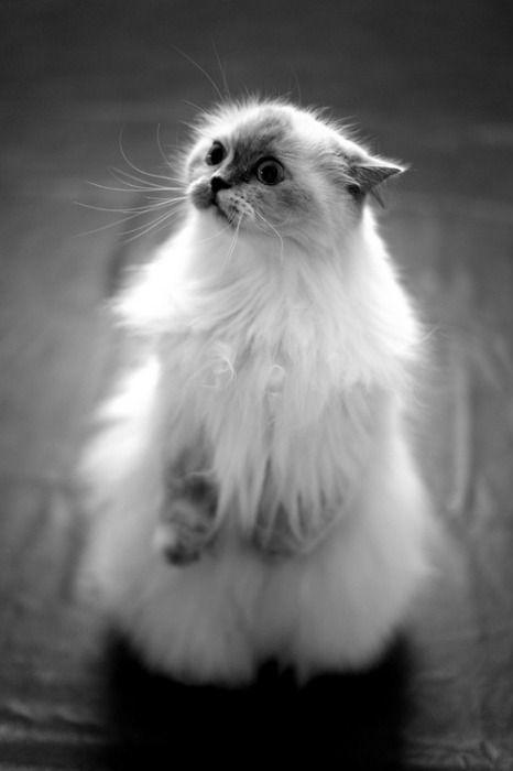 fluffy kitty :D