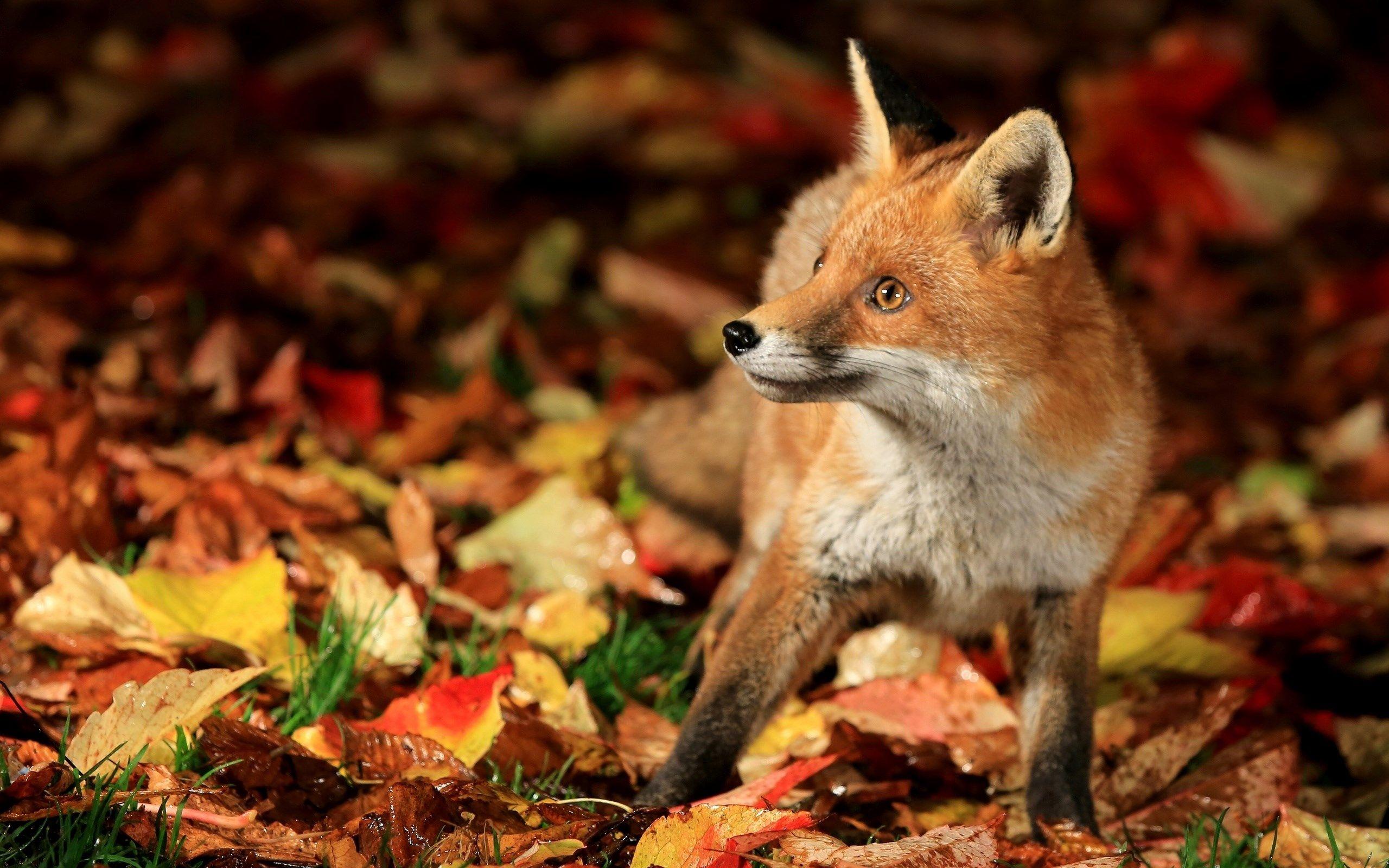 Fox Wallpapers 1080p High Quality 2560x1600 592 Kb Fox