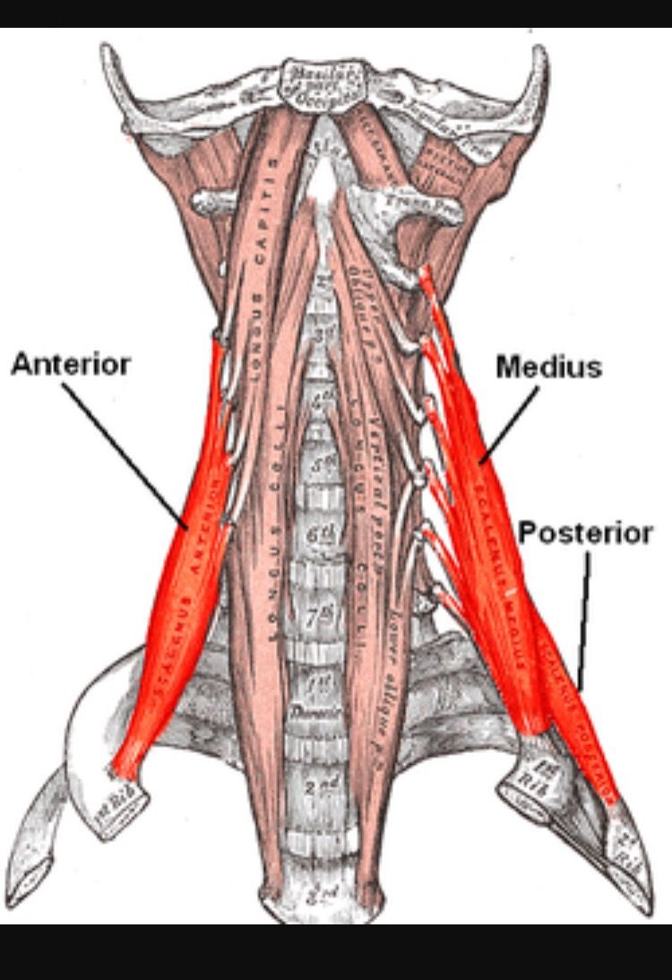 Anatomy Angel Scalenes Dr Dooley Noted Referred Pain
