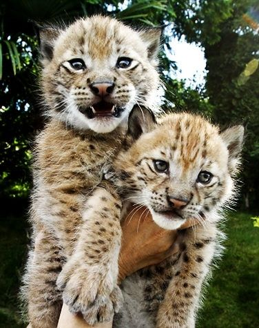 Twenty five-day-old lynx kittens, not named yet, are displayed for media at the zoo in the Black Sea resort of Sochi, southern Russia, Wednesday, June 9, 2010.