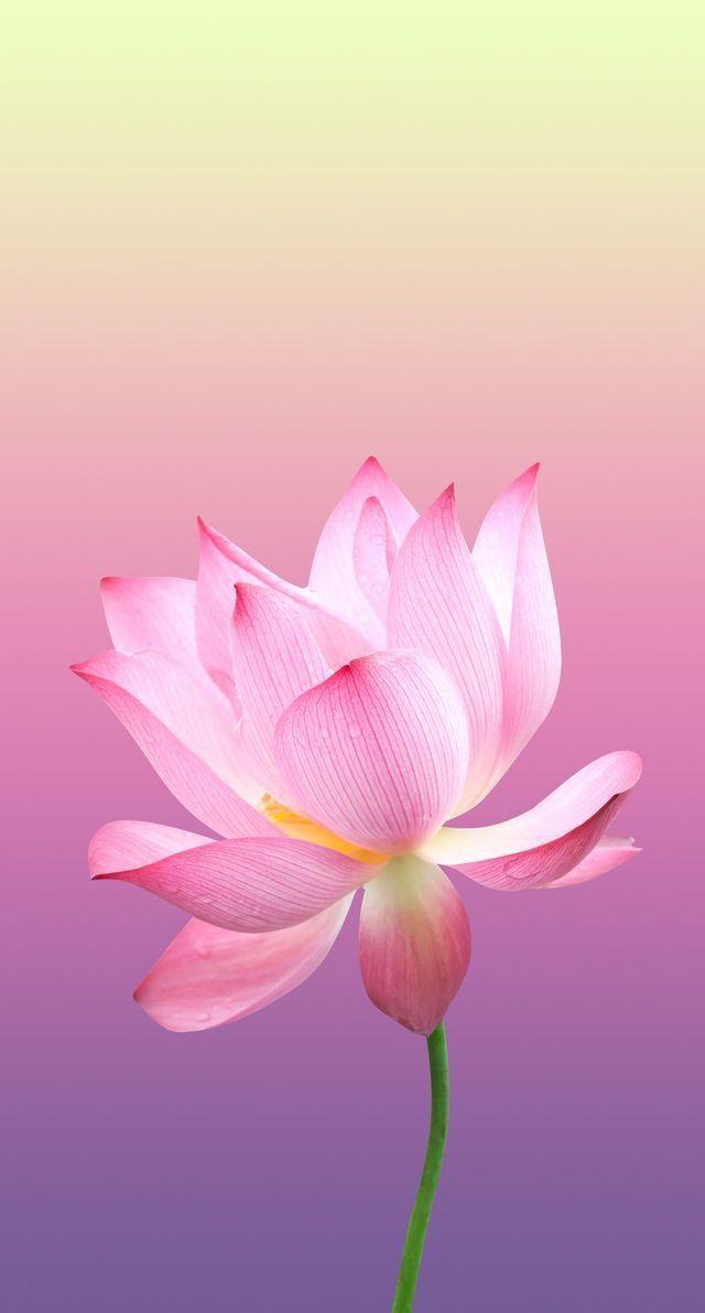 Nature Wallpaper Iphone 美しい花 蓮の花 蓮の絵