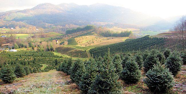 Asheville North Carolina Christmas Tree Farms Christmas Tree Farm Tree Farms Christmas Tree