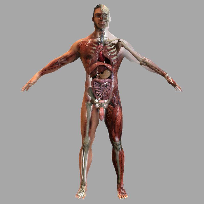 Male Anatomy 3d Model 3d Anatomy In 2019 Pinterest Human