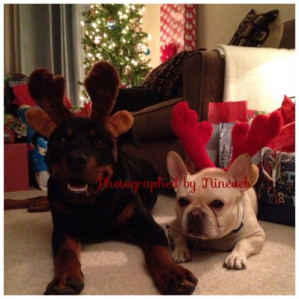 Tis The Season Christmas Reindeer Rottweiler French Bulldog