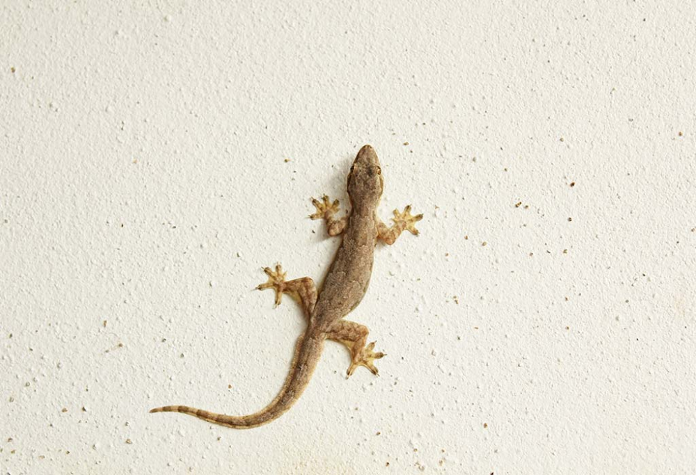 9cc0825302d7f6911704391648575937 - How To Get Rid Of Wall Lizards At Home