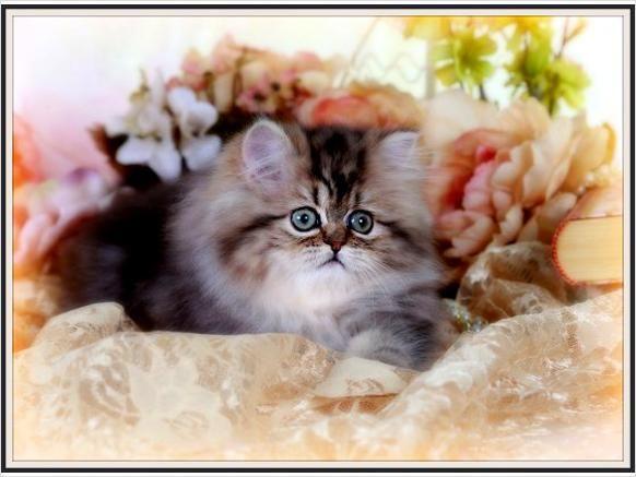 rug huggers kittens Shaded Golden Teacup Persian