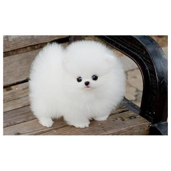 Madame Squeefluff Fluffy Animals Cute Baby Animals Pomeranian Puppy