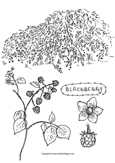 Blackberry Colouring Page Tree Coloring Page Coloring Pages