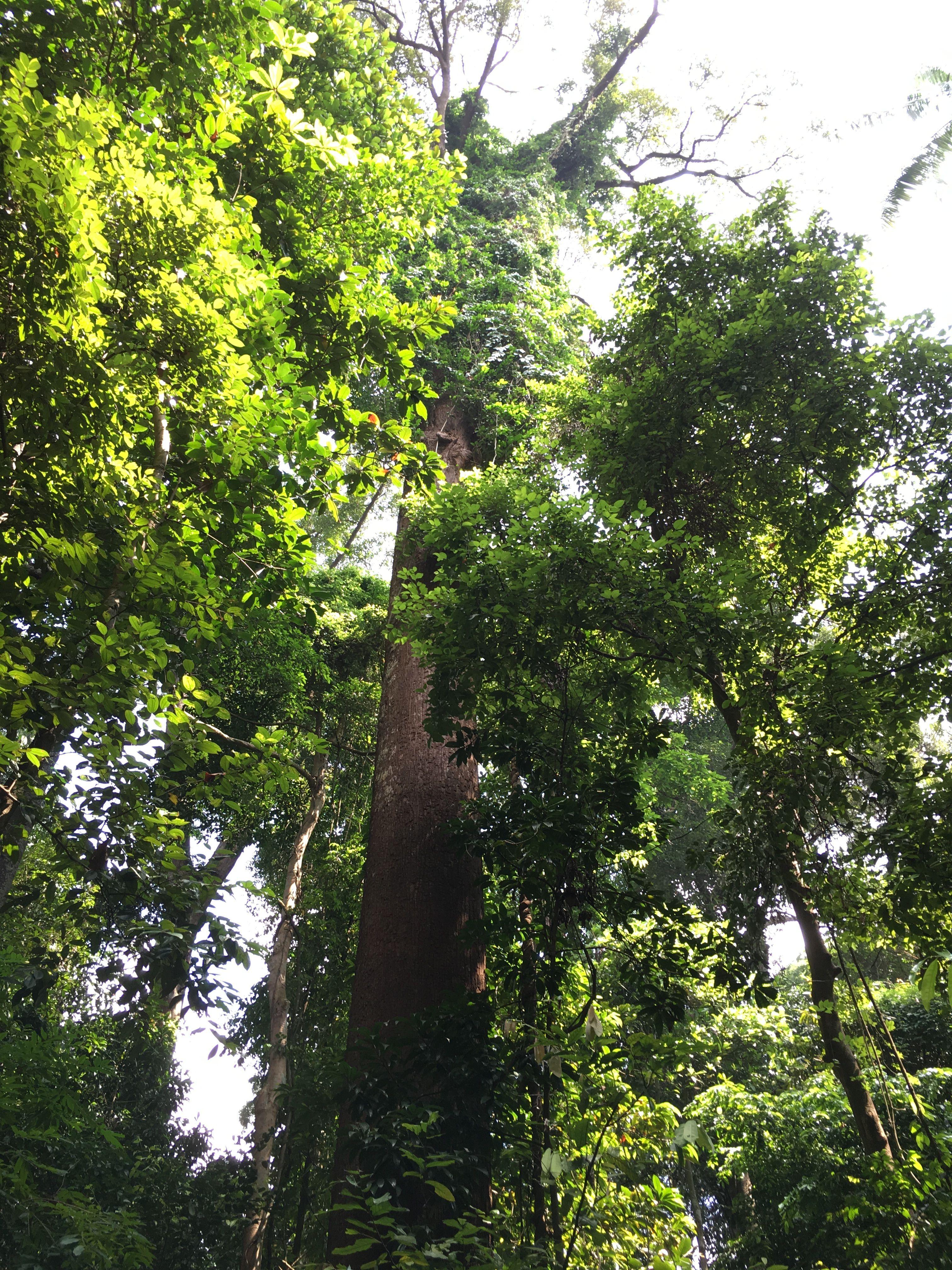 بلندترین درختان