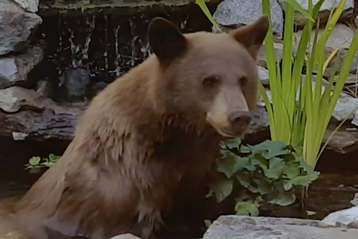 bear in fishpond surprises homeowner by what it doesn u0027t do video