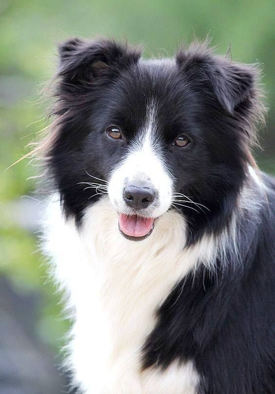 Border Collie S Are So Beautiful Have Crazy Eyes And One Of The