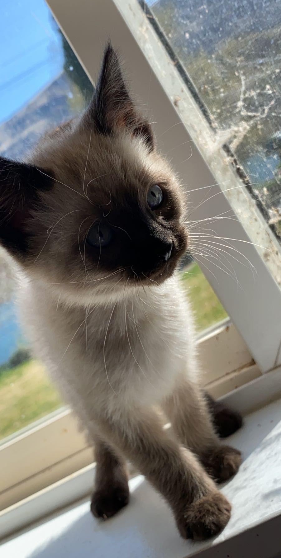 Http Www Animalwallpaper Org Wp Content Uploads 2011 02 Cats 1024 C3 97 768 Scottish Fold Jpg Baby Cats Cute Baby Cats Scottish Fold Kittens