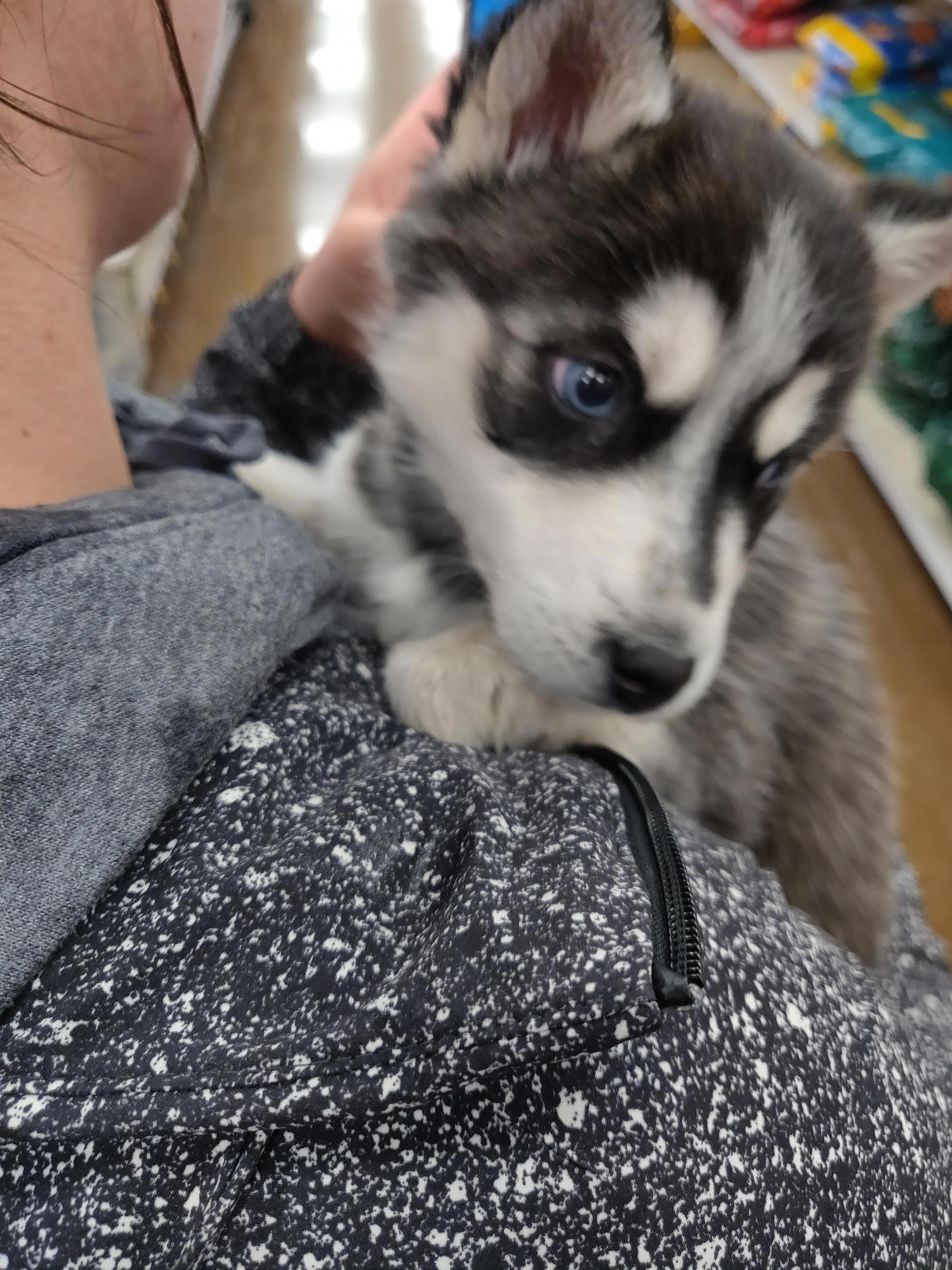 More About Playful Siberian Huskies Puppy Temperament