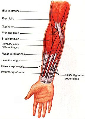 The flexor carpi ulnaris (FCU) muscle is a muscle of the human ...