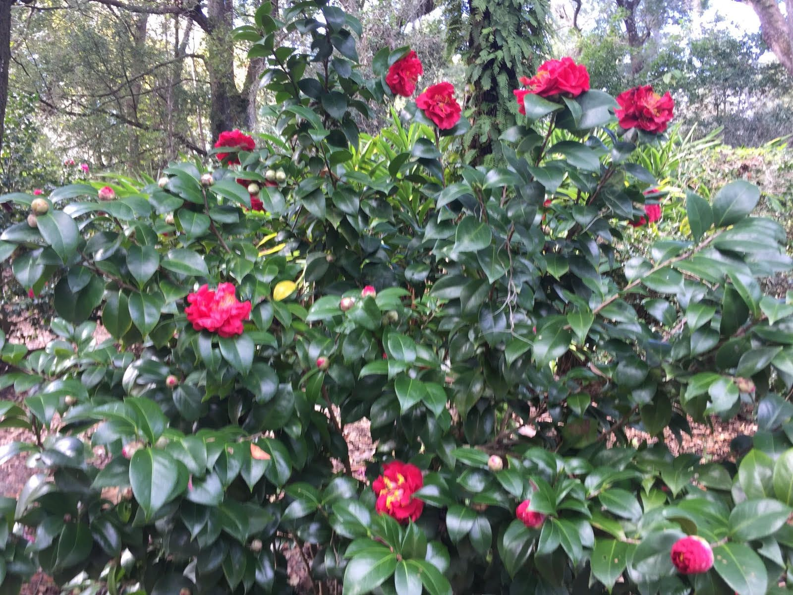 Hardy Camellia Plants Growing Camellias In Zone 6 Gardens Plants Camellia Plant Charleston Gardens