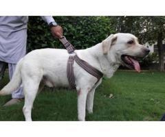 Male Labrador Retriever 2 5yrs For Sale In Good Amount Labrador Retriever Labrador Retriever