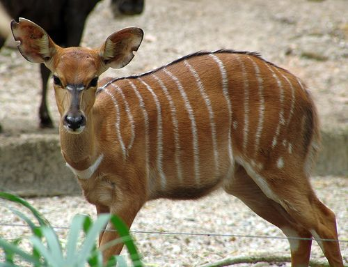 10 Awesome Animals Whose Names Start with The Letter N Nyala