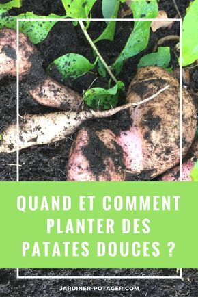 comment planter des patates douces conseils pour r ussir leur culture jardin potager. Black Bedroom Furniture Sets. Home Design Ideas