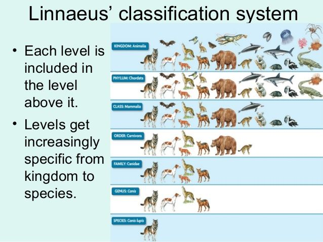 Vertebrate taxonomy chart google search animal classification science biology lessons school also konos or rh pinterest