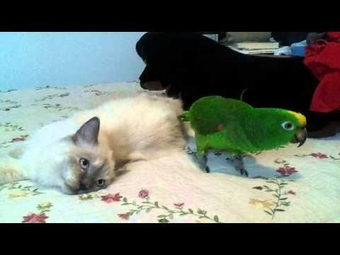 Amazon Parrot Kitten Cat Cute Love Bird Funny Animals