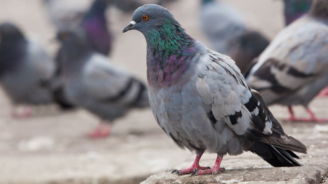 9cc47c46c86a412d7f52561e50226203 - How To Get Rid Of Pigeons In My Barn