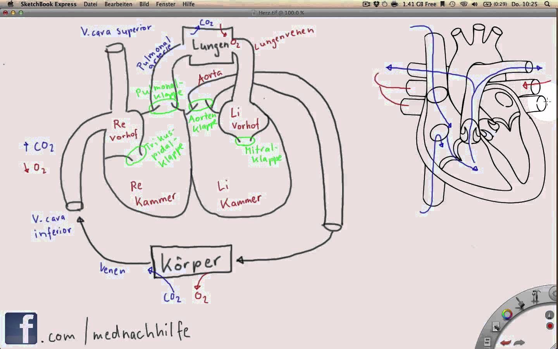 Ausgezeichnet Herz Kreislauf System Diagramm Fotos - Menschliche ...